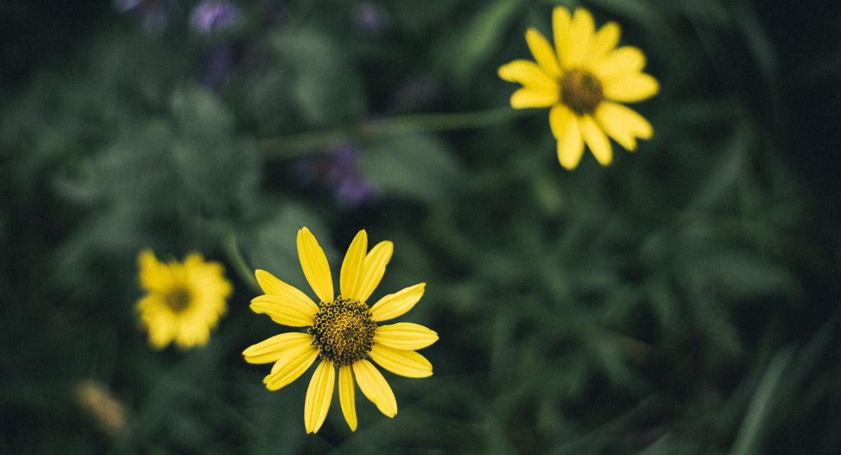 Yellow flower, Burnham Nature Sanctuary, Hyde Park, Chicago